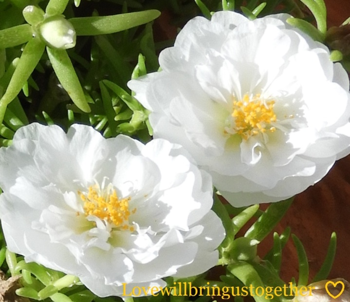 lovewillbringustogether - portulaca2