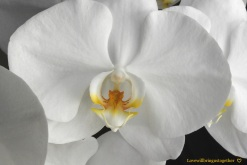 lovewillbringustogether - White Orchid2