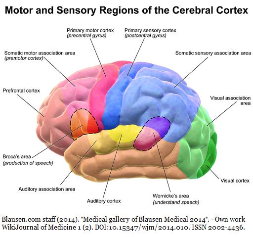 500px-blausen_0102_brain_motor&sensory