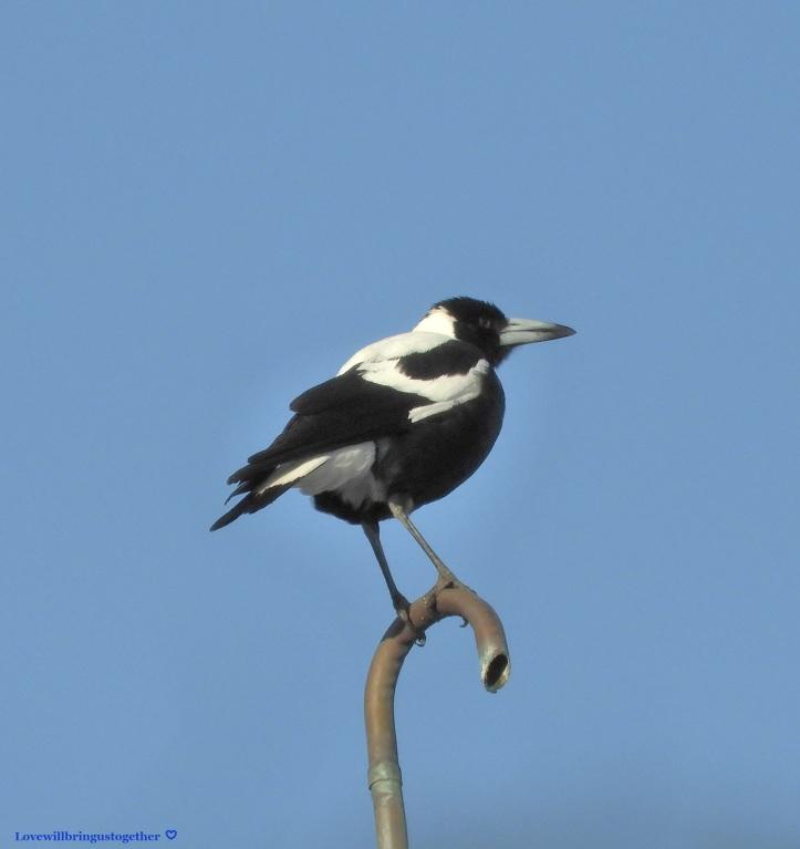 lovewillbringustogether - Australian Magpie12